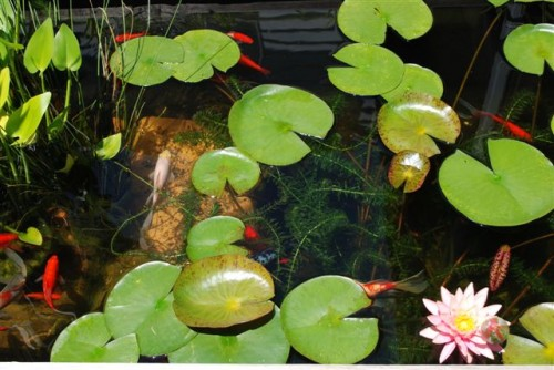 June 2009: Lily Pads