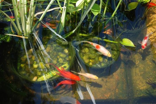 June 2009: Goldfish in Pond