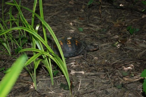 June 2009: Box Turtle in Sherry's Garden