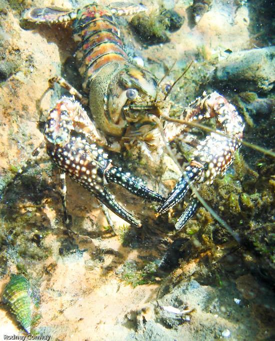 Huge crayfish at Ichetucknee Springs