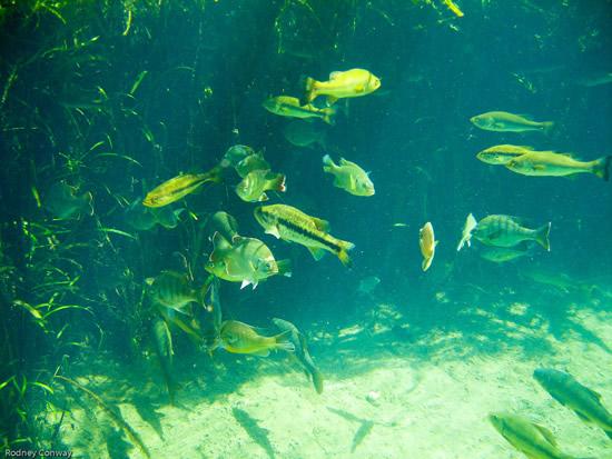 Loads of fish at Ichetucknee Springs