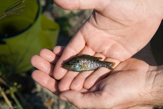 Sunfish we caught