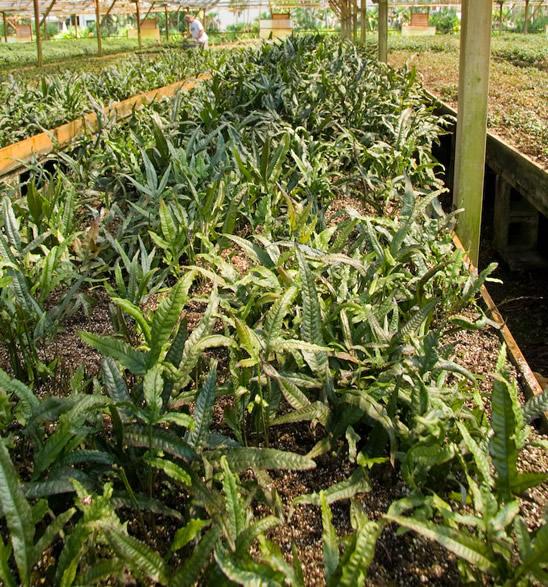 Field of Java Fern